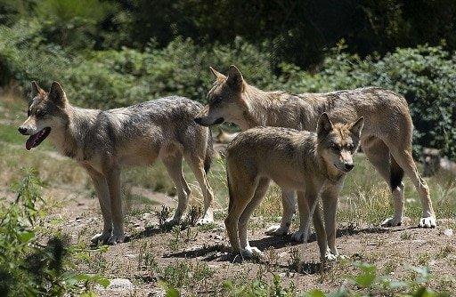 שמורת הזאבים (Les Loups du Gevaudan) ב - Saint Leger de Peyre