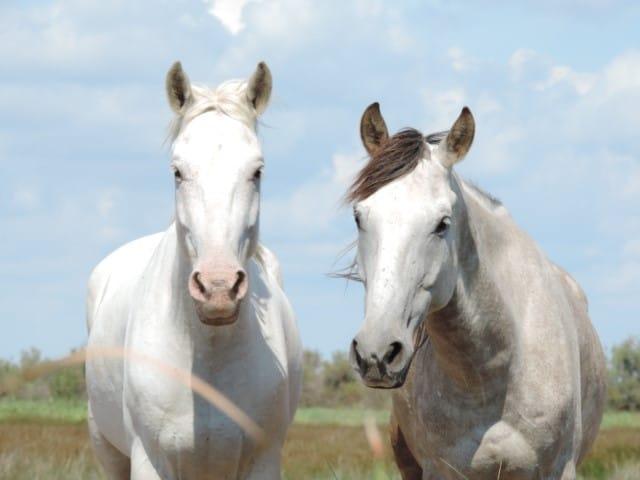הסוסים הלבנים של חבל הקמארג