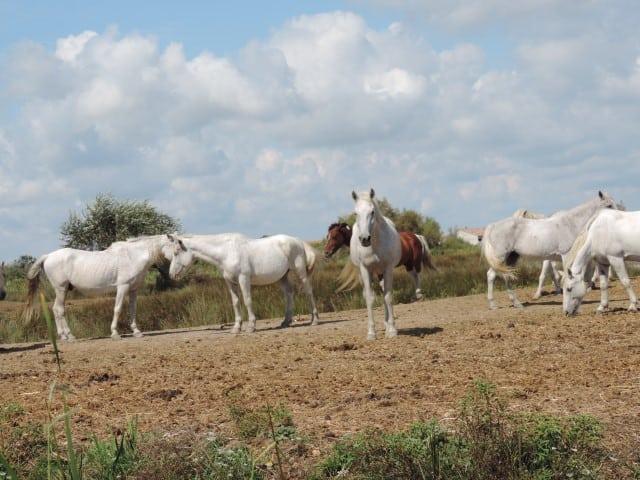 סוסים לבנים של חבל הקמארג