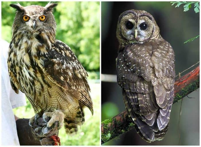 תמונה מצד ימין: תנשמת. תמונה מצד שמאל: ינשוף. מקור צילומים: ויקיפדיה