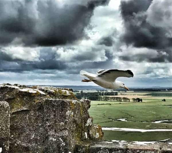 שחף טס מעל חומות סן מישל - צילם צבי חזנוב