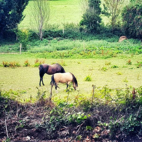 סוסים באחו לא כל כך רחוק מהבית שלי. צילום: צבי חזנוב