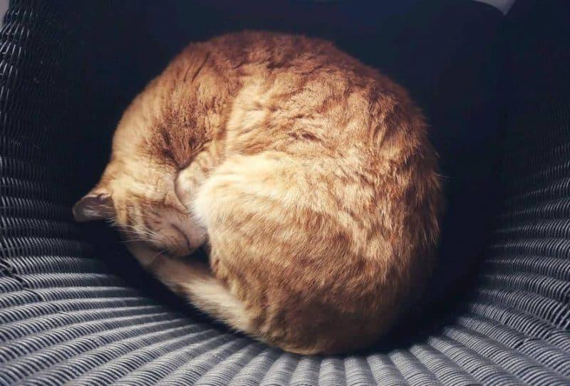 חתול במלטה נח את שנת הצהריים שלו