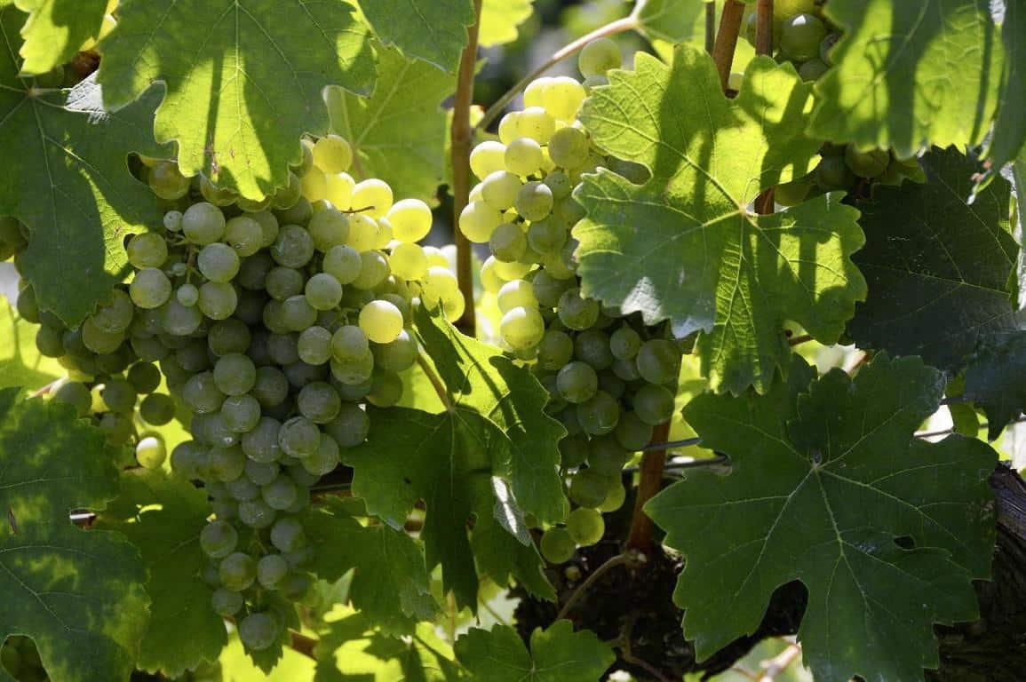 ענבים בכרם של שבלי (Chablis)