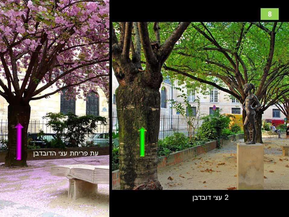 עצי הדובדבן בגן גבריאל פיארנה. צילום: רותי שמעוני