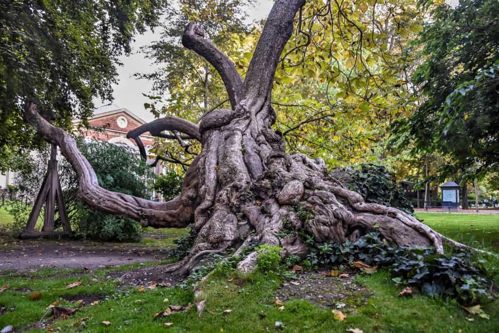 עץ הקטלפה בגני לוקמסבורג. צילם: יואל תמנליס